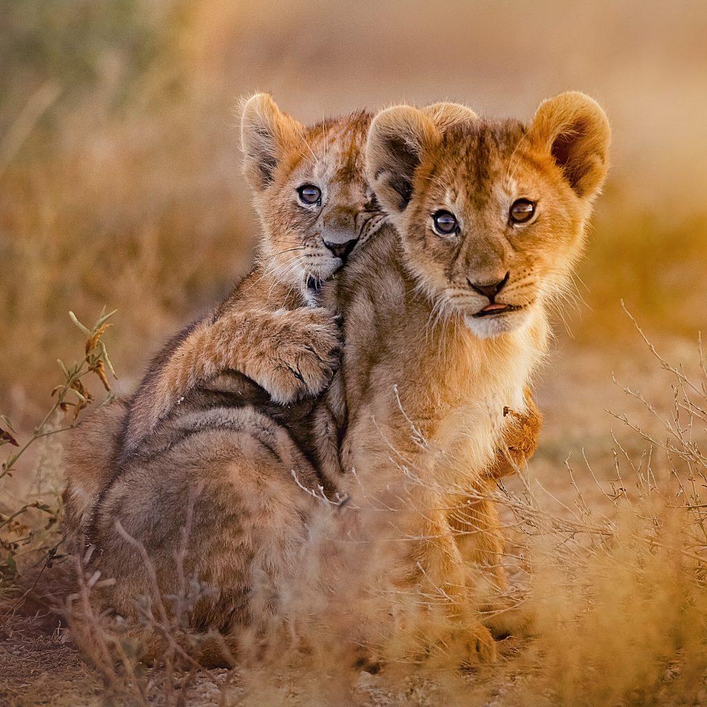 lion cubs_748137688